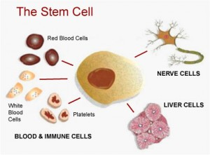 Cord-blood-cells